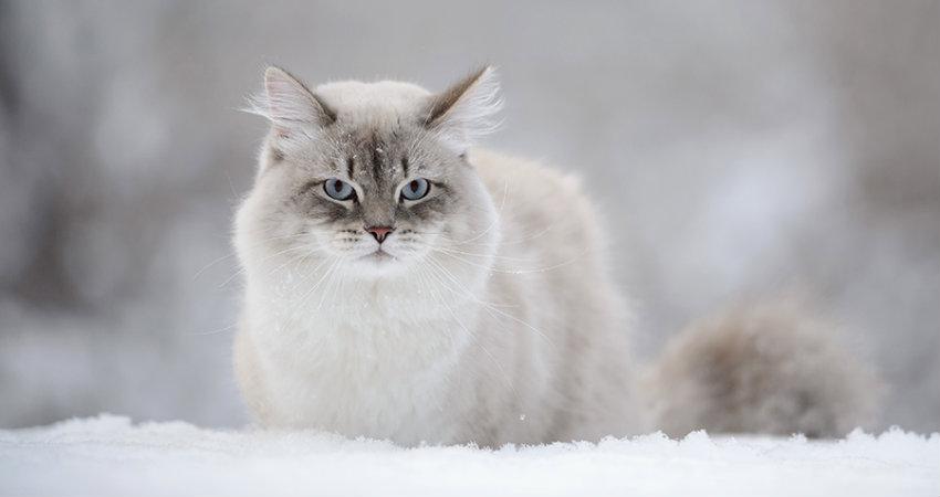 gato siberiano y alergias