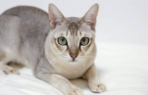 razas de gato inteligentes