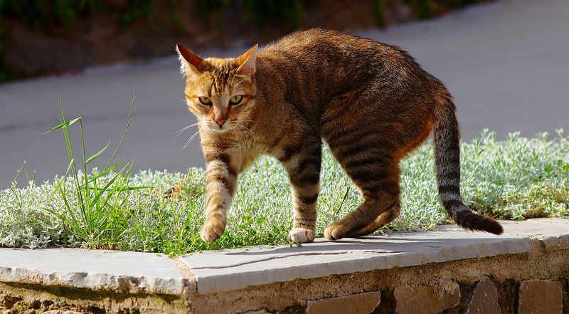 gato mirandóte