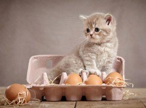 los gatos pueden comer huevo