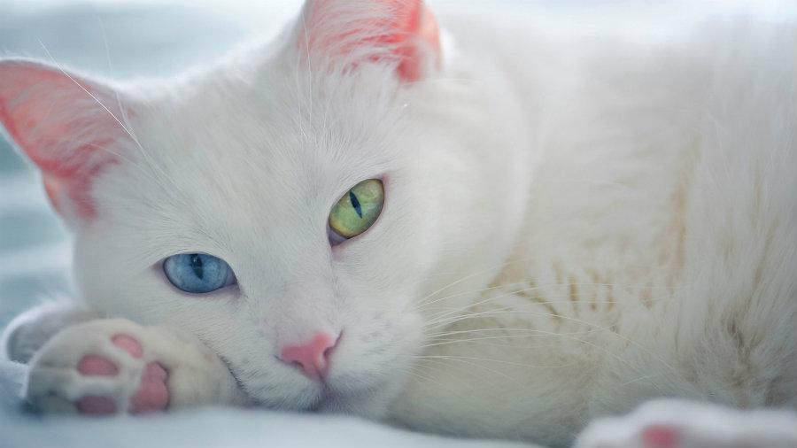heterocromia-en-gatos
