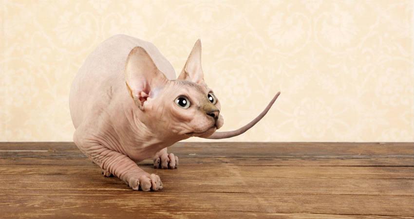 gatos hipoalergenicos