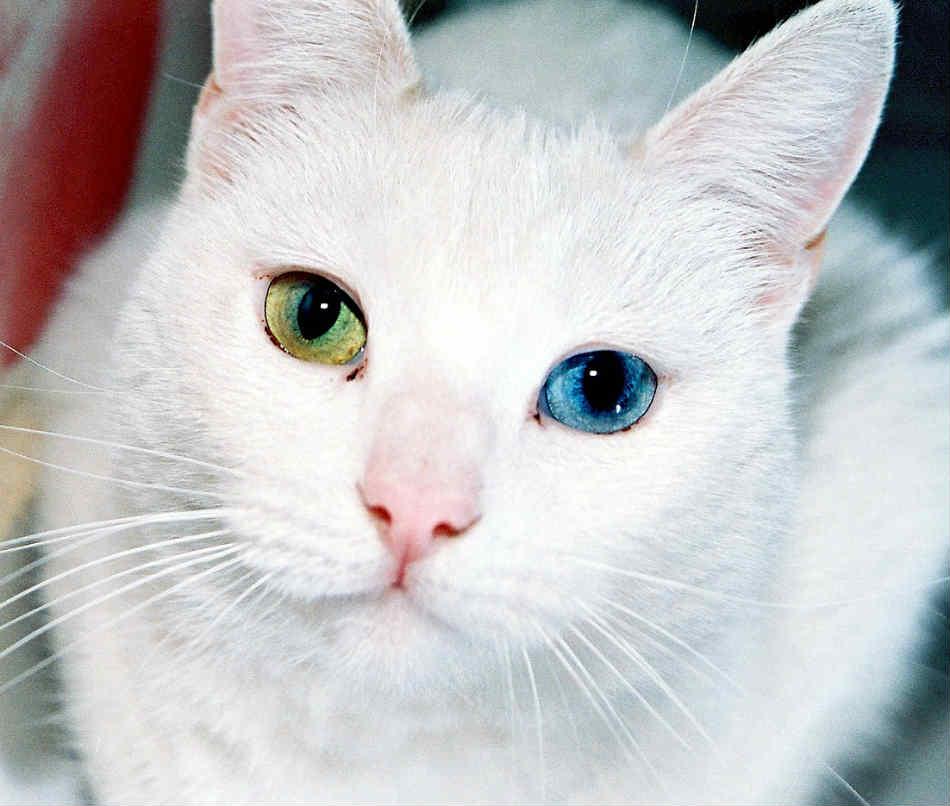 gato con heterocromía