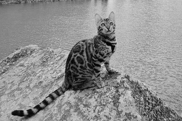 orígenes del gato bengalí