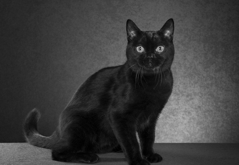 historia del gato bombay