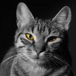infecciones en ojos de gato