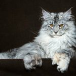 maine coon blanco