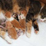 mastitis en gatas