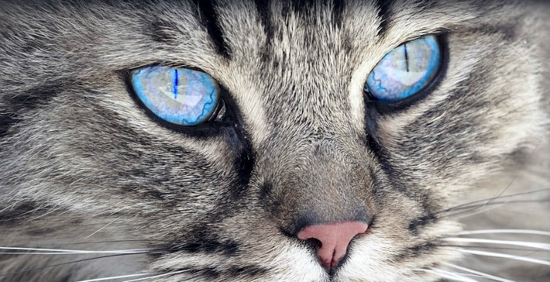 ojos de gato sanos