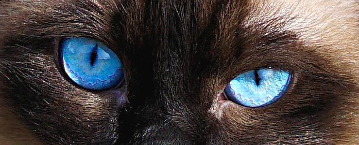 ojos gato balinés