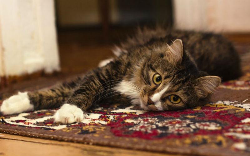 orina de gato en sillon