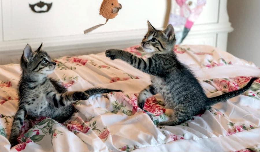 pelea de gatitos