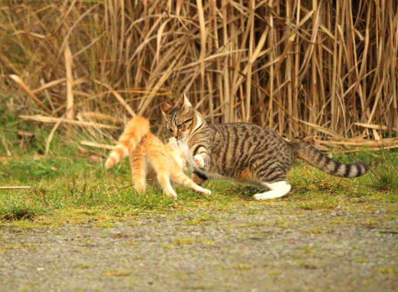 como-detener-pelea-gatos