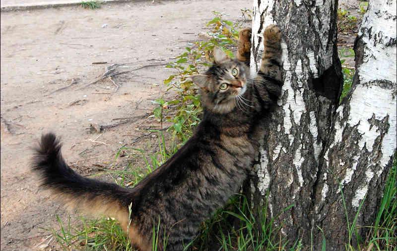 ¿por qué rascan los gatos?