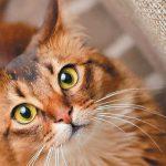 razas de gatos cariñosos