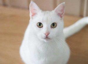 razas de gatos blancos