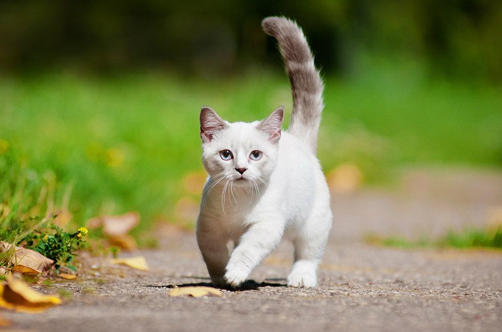 salud del gato munchkin