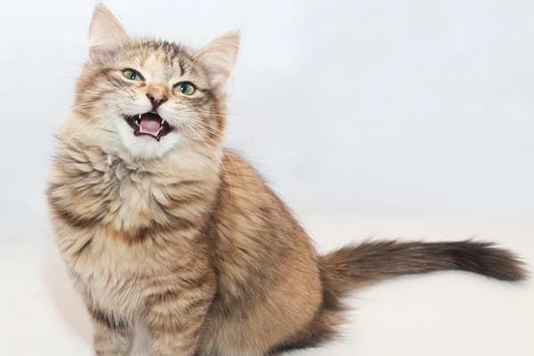 maullidos de gatos