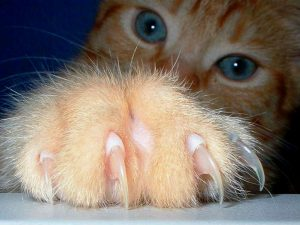 las garras son vitales para los gatos